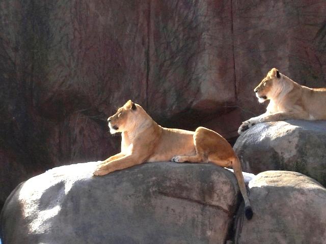 lioness light